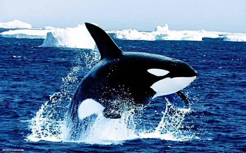 Αρκτικά ζώα: Φάλαινα δολοφόνος