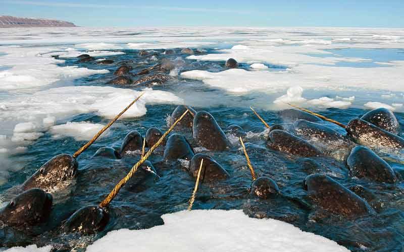 Αρκτικά ζώα: Narwhal