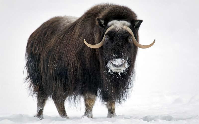 Αρκτικά ζώα: Μόσχος