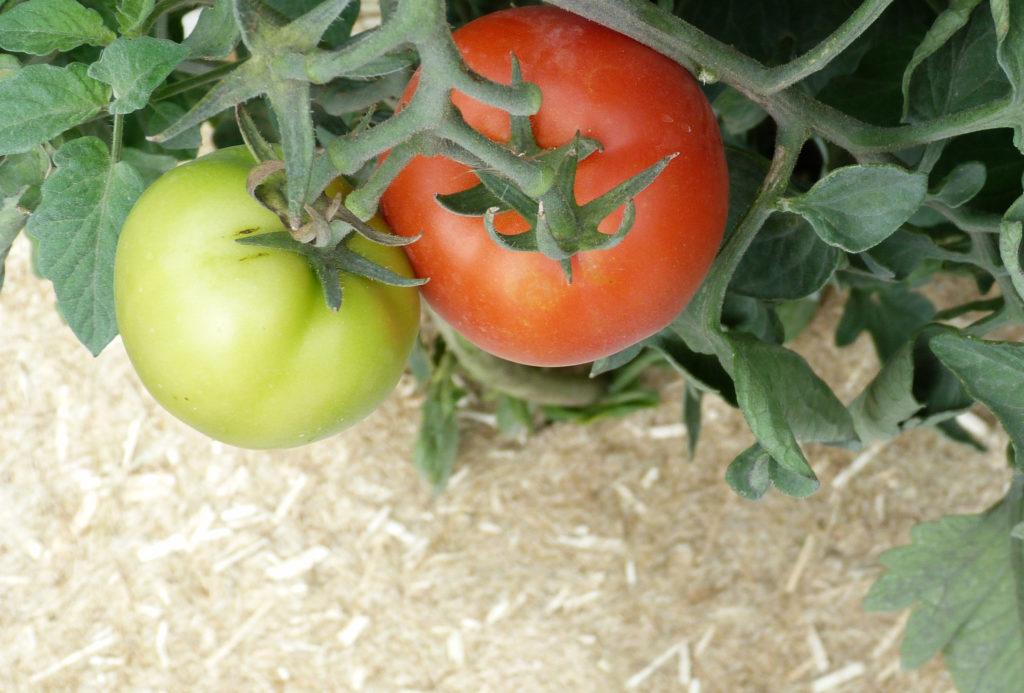 tomates toile de paillage maraichage geochanvre