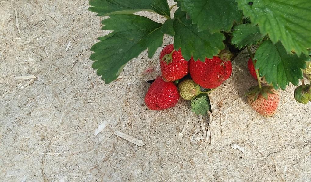 mulch couvre sol pour fraisier
