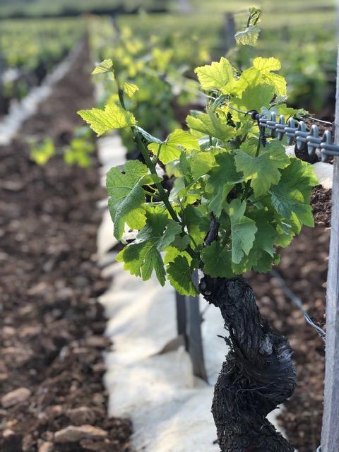 premium-protect paillage vigne géochanvre