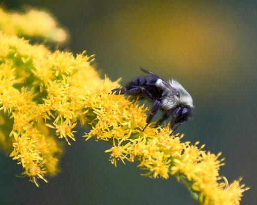 bee-on-a-yellow-flower-across-the-street.jpg