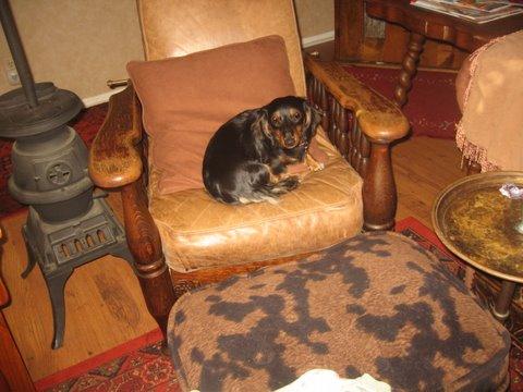 roxie on a leather chari.JPG