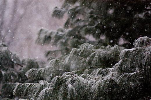 snowy-pine-tree-in-january.jpg