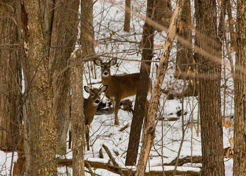two-cold-deer.jpg