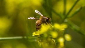 _mg_3964 bee pollenating20160507