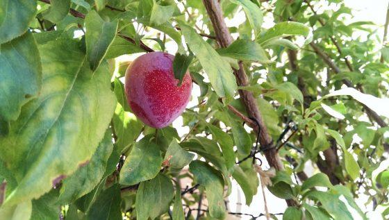 my plum