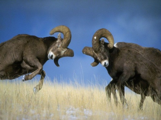Rams-fighting