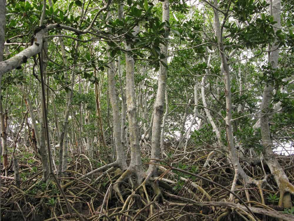 Red mangrove habitat, Everglades National Park. Photo: NPS
