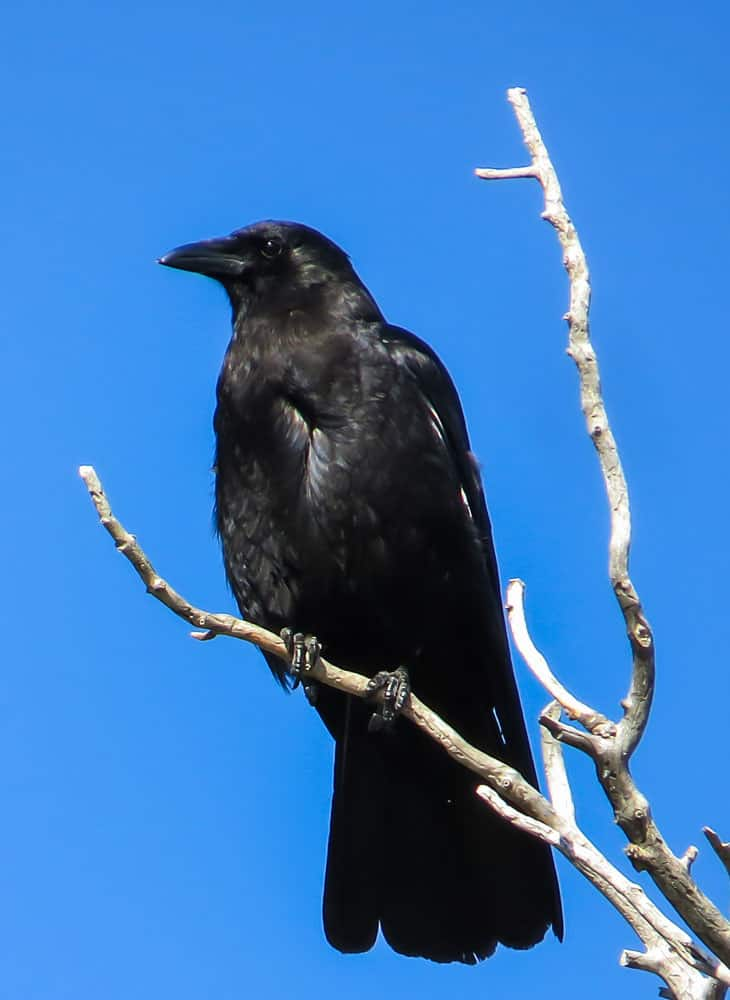 Crows have a smooth front of feathers just below the beak. An American Crow perched on a tree branch. Photo: NPS Photo / Andrea Putnam, public domain