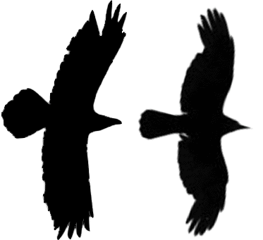 Silhouettes of a raven (left) and crow (right) in flight.