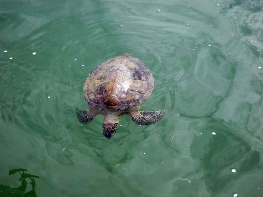 A cold stunned sea turtle floats at the surface in shallow water. Credit: NOAA.