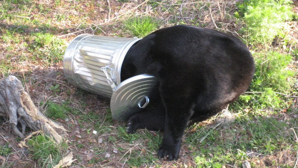 Black bear foraging in a trash can. Photo: Florida Fish and Wildlife, 2008, CC BY-ND