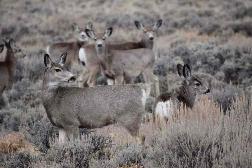 Mule deer does and fawns gather on their winter range just before beginning their spring migration north through the Wyoming Range mountains, Wyoming, USA.  Picture: Samantha Dwinnell, Wyoming Cooperative Fish and Wildlife Research Unit. Public domain, Taken ~2012.