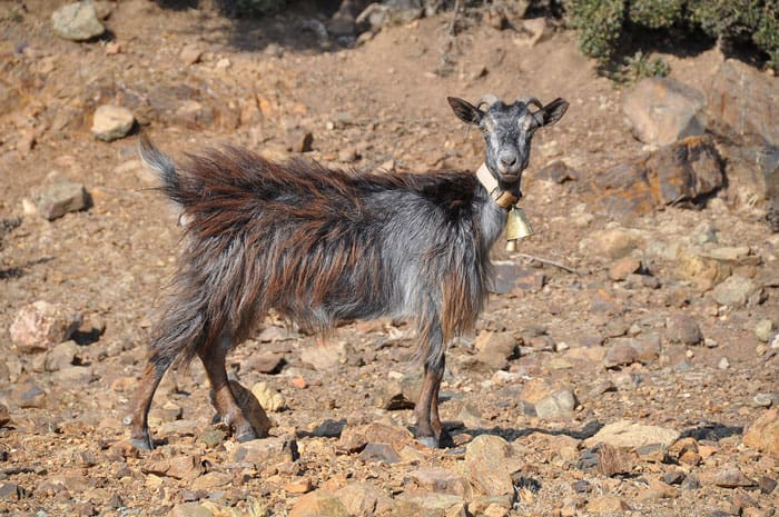 Goat in Samothraki. Photo: S.Nikolakakos, 2018. CC BY-SA 4.0