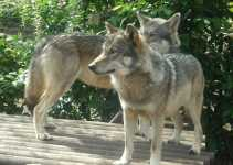 European Wolves Could Be Replaced by Wolf-Dog Hybrids