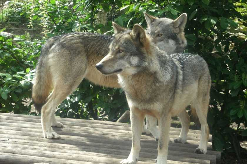 European Wolves (Canis Lupus).  Photo: Emma Websdale, CC BY-SA 2.0