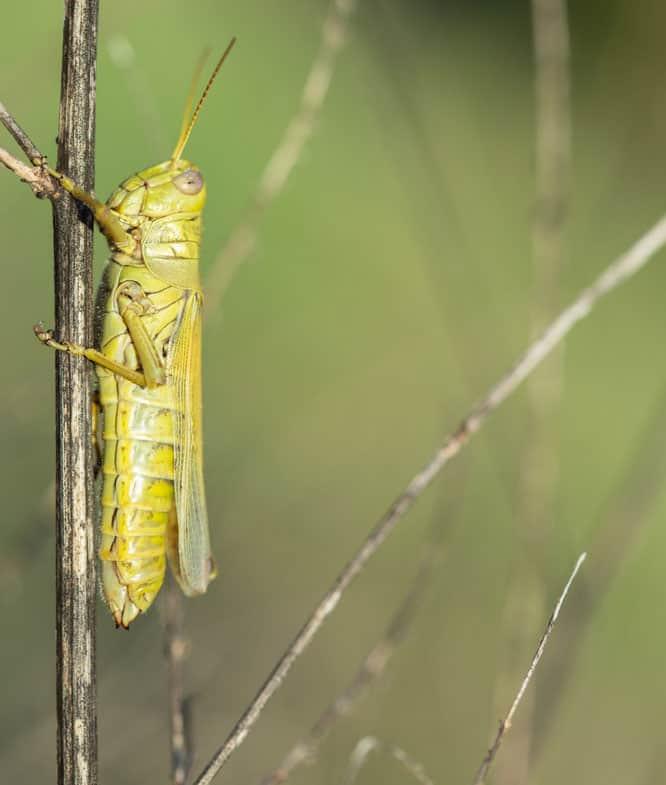 Differential grasshopper (Melanoplus differentialis). Photo: NPS | Katy Cain, public domain.