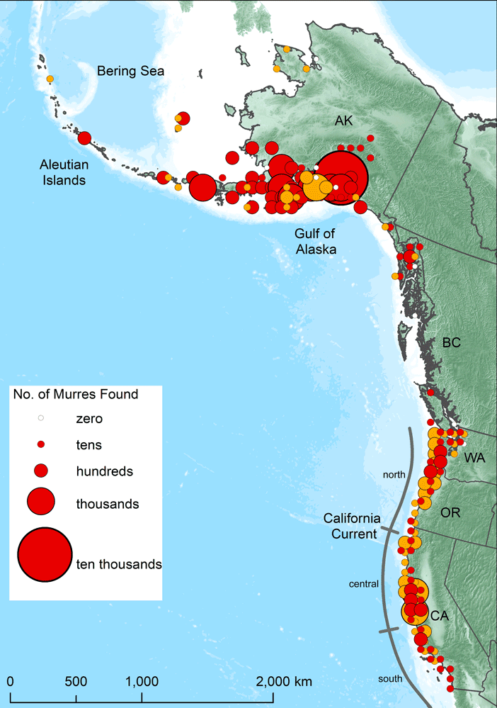 Survey of murres population along the west coasts between May 2015 and April 2016.  Gold circles indicates numbers of monthly dead or moribund murres.  Red circles indicates opportunistic beach surveys and rehab captures.  Map: Piatt et al., 2020.