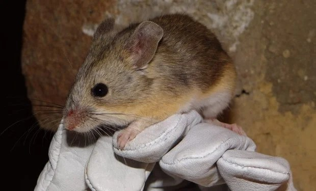 Yellow-rumped leaf-eared mouse (Phyllotis xanthopygus rupestris). Photo: Marcial Quiroga-Carmona