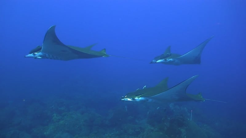 A school of sicklefin devil rays. Source: NOAA, public domain.