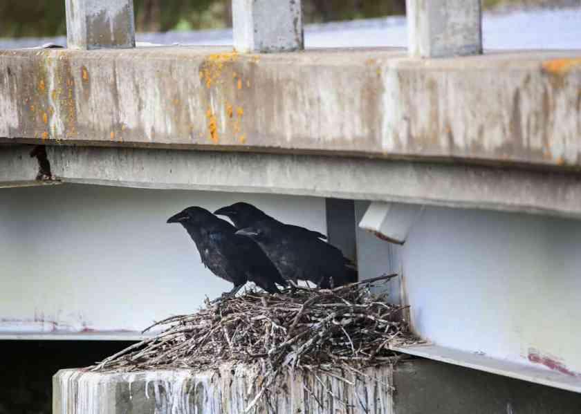 Crows sit in a nest under a bridge near Polychrome Pass, Denali National Park.  Photo:  NPS Photo / Emily Mesner, public domain.