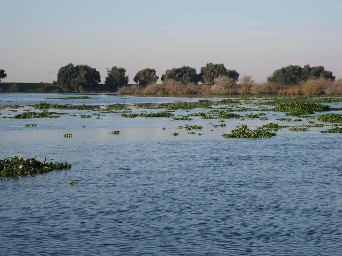 Freshwater habitats are in decline and under threat. Lindsey Slough in the Sacramento-San Joaquin Delta is being choked by invasive aquatic vegetation. Photo: USGS, public domain.
