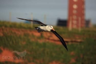 Black-browed albatross, albatros černobrvý (Diomedea melanophris)