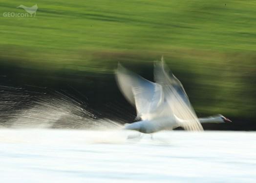 Mute swan / labuť velká (Cygnus olor)