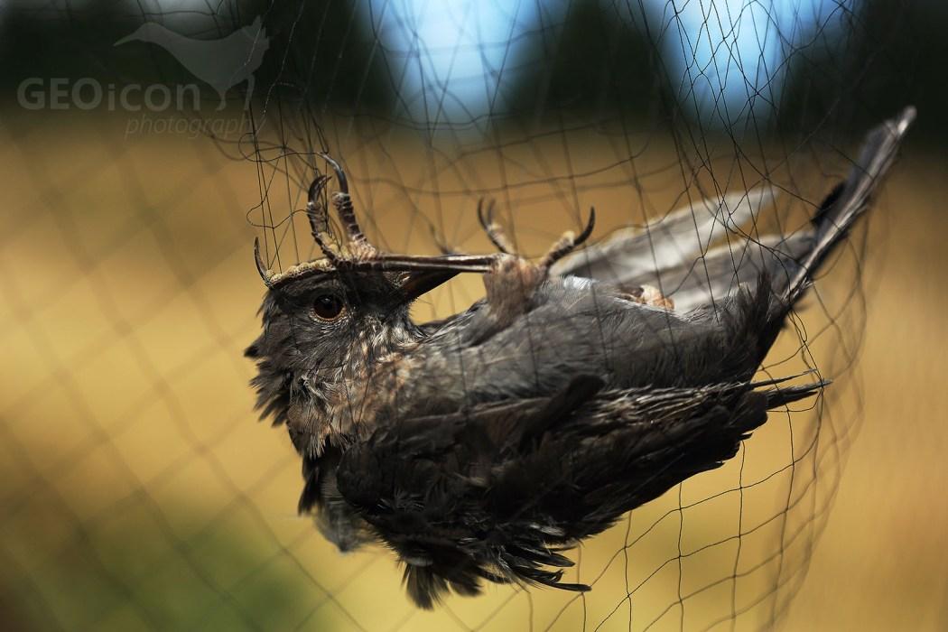Blackbird / kos černý (Turdus merula)