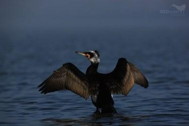 Cormorant / kormorán velký (Phalacrocorax carbo)