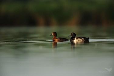 Tufted duck / polák chocholačka (Aythya filigula)