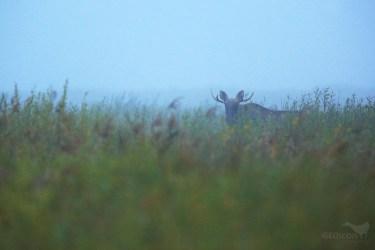 Elk / los evropský (Alces alces)