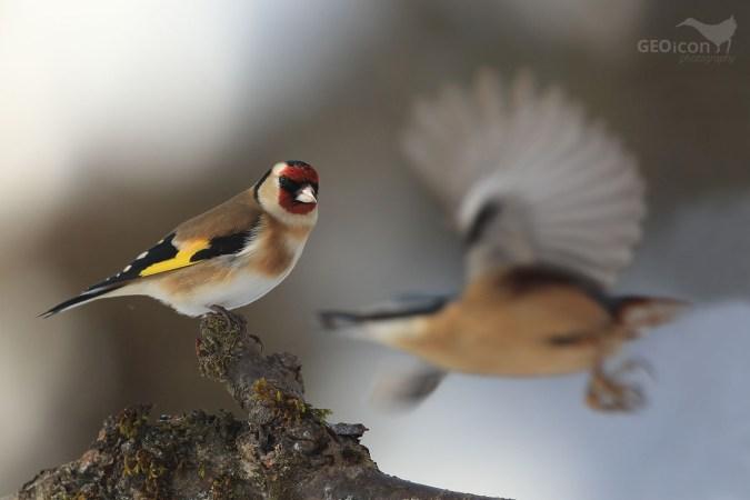 Goldfinch /stehlík obecný (Carduelis carduelis)