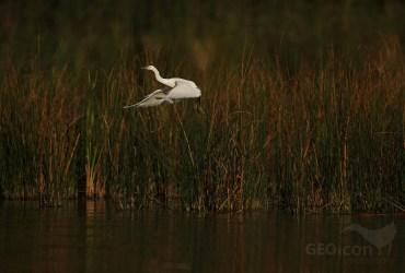 Little Egret / volavka stříbřitá (Egretta garzetta)