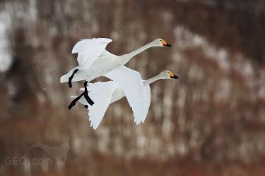 Whooper swan / labuť zpěvná (Cygnus cygnus)