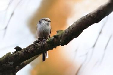 Long-tailed tit / mlynařík dlouhoocasý (Aegithalos caudatus)