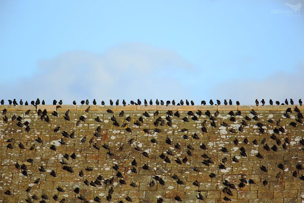 Starling / špaček obecný (Sturnus vulgaris)