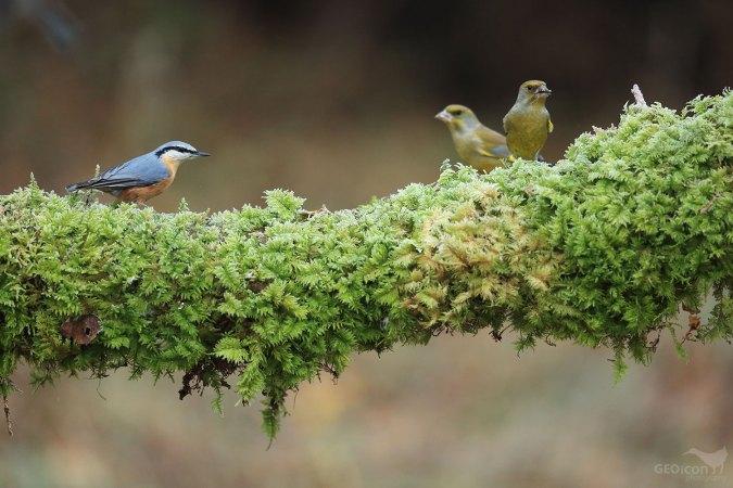 Nuthatch / brhlík lesní (Sitta europaea)