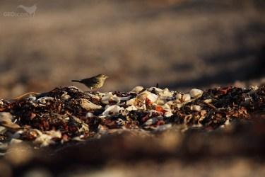 Rock pipit / linduška skalní (Anthus petrosus)