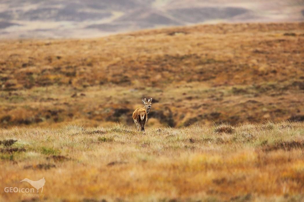 Red deer / jelen evropský (Cervus elaphus)