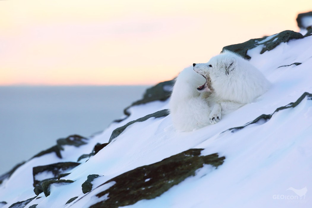 Polar fox / liška polární (Vulpes lagopus)
