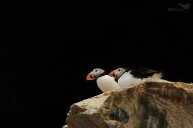 Puffin / papuchalk severní (Fratercula arctica)