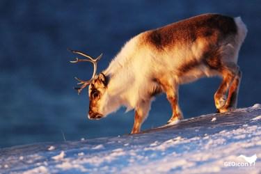 Reindeer / sob polární (Rangifer tarandus platyrhynchus)