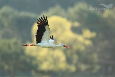 White Stork / čáp bílý (Ciconia ciconia)