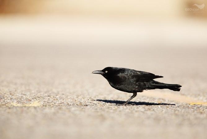 Brewer´s blackbird / vlhovec pospolitý (Euphagus cyanocephalus)