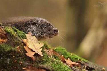 Otter / vydra říční (Lutra lutra)