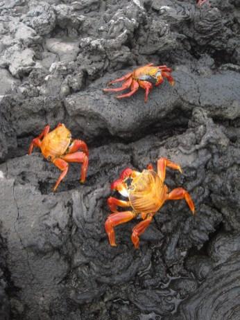 Sally Lightfoot Crabs