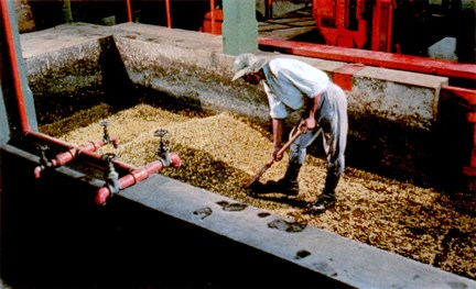 Excellent coffee is grown in Puerto Rico's western mountains. Old-fashioned hand methods such as shown here are gradually being replaced by modern machinery for washing and drying.